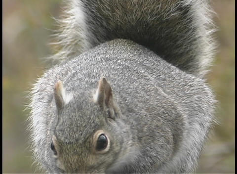 A fuzzy gray squirrel eats food from its paws Live Action