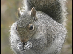 A fuzzy gray squirrel eats food from its paws Stock Video Footage