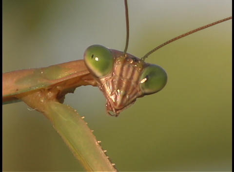 A praying mantis face Stock Video Footage