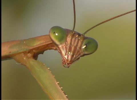 A praying mantis face Stock Video Footage