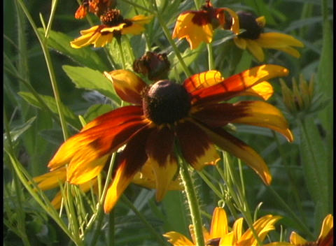 Close-up shot of a yellow and red wildflower in a green... Stock Video Footage