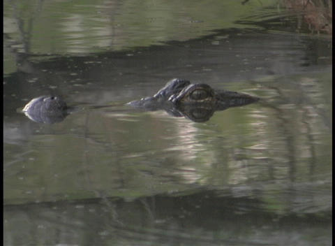 An alligator hovers with his eyes just above the water in a Florida swamp Footage
