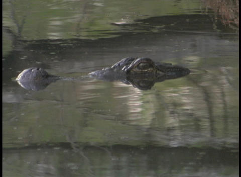 An alligator hovers with his eyes just above the water in... Stock Video Footage