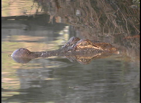 An alligator spies its prey from a Florida swamp Live Action