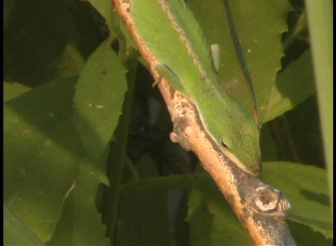 A green lizard moves along a tree branch in the jungle Stock Video Footage