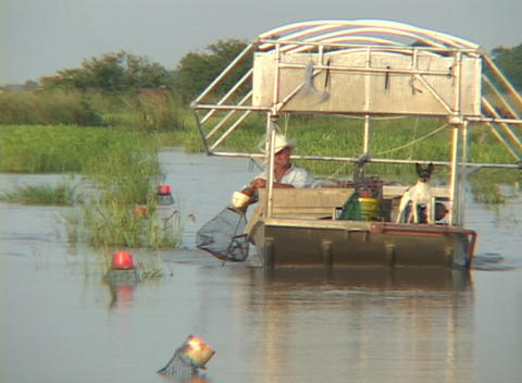 A fisherman on a boat rides through swampland checking his crayfish traps Footage