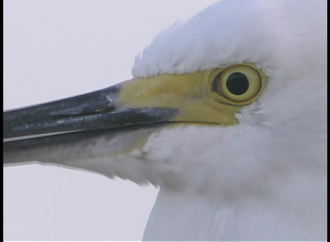 A white egret bird tilts and nods its head Footage
