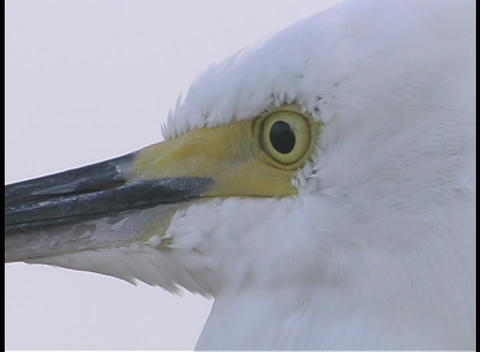 A white egret bird tilts and nods its head Stock Video Footage