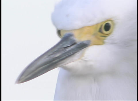 A white bird stares into the distance Stock Video Footage