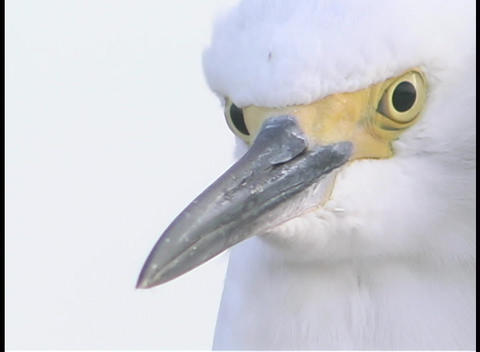 A White Bird Stares Into The Distance stock footage
