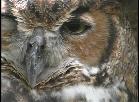 A large Owl stares past the camera Stock Video Footage