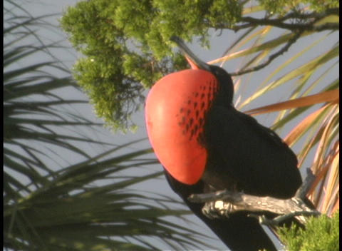 A black bird with a bright orange chest perches in a tree Footage