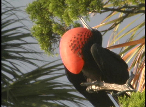 A black bird with a bright orange chest perches in a tree Stock Video Footage