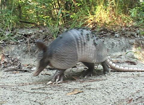 An armadillo walks across sandy ground Stock Video Footage