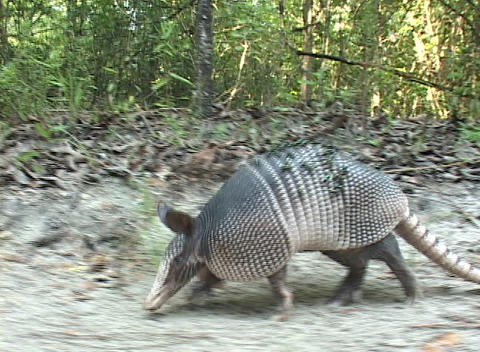 An armadillo walks across sandy ground Footage
