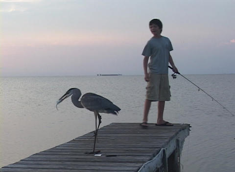 A boy fishes on a dock near a Great Egret Footage