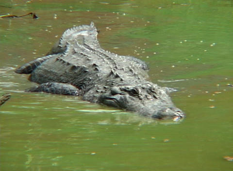 An alligator stalks prey in shallow water Footage
