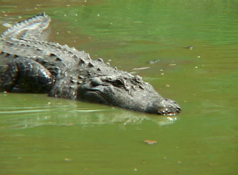 An alligator stalks prey in shallow water Stock Video Footage