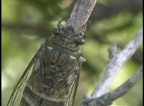A cicada rests on a tree branch Stock Video Footage