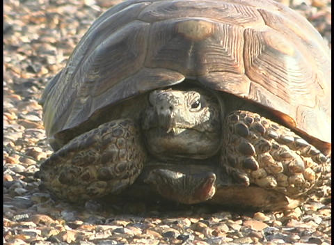 A large tortoise rests on a rocky beach Stock Video Footage