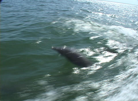 Dolphins swim and jump through the wake of a belt Footage