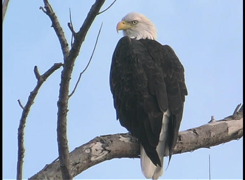 A Bald Eagle surveys its surroundings while perching on a... Stock Video Footage