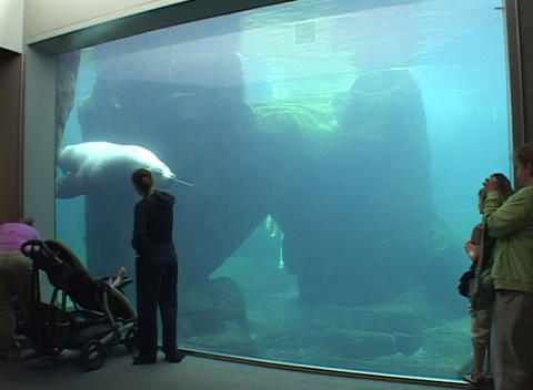 A giant sea lion swims in an aquarium Stock Video Footage
