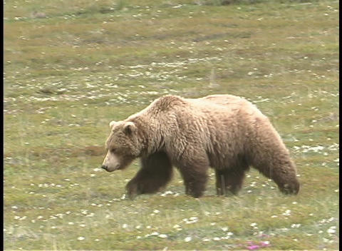 An Alaskan brown bear walks across a grassy area Footage