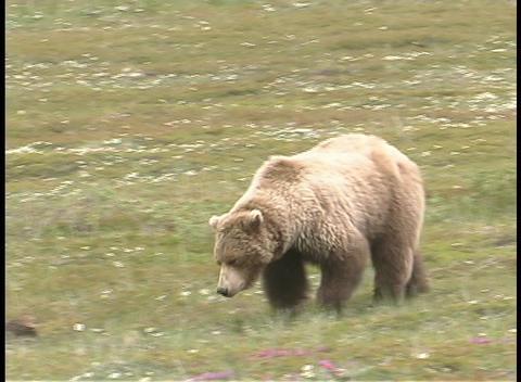 An Alaskan brown bear walks across a grassy area Stock Video Footage