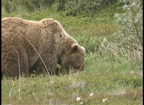 A mother brown bear and cubs forage in the grass Stock Video Footage