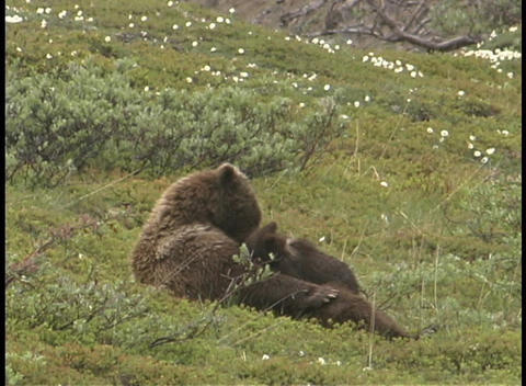 A mother bear lays on it's back suckling her cubs Stock Video Footage