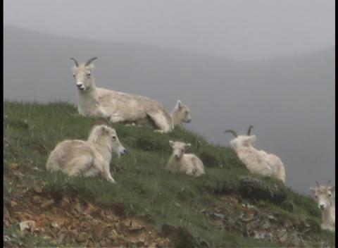 Alaskan dall sheep walk on a distant hillside Footage