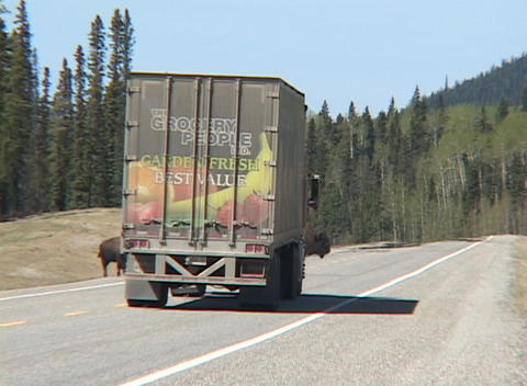 Bison pass in front of a truck on a highway in a forest Stock Video Footage