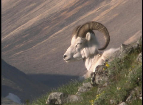 A ram chews its cud on a hillside Stock Video Footage