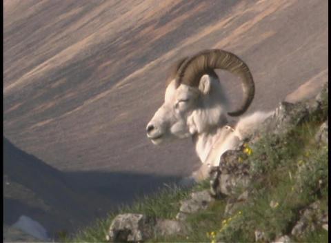 A ram chews its cud on a hillside Footage