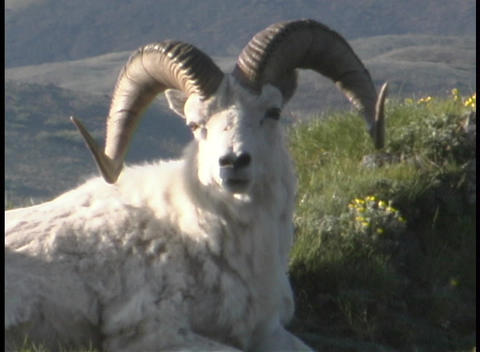 A ram reclines on a grassy hillside Footage