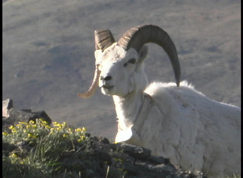 A ram stands on a grassy hillside Footage