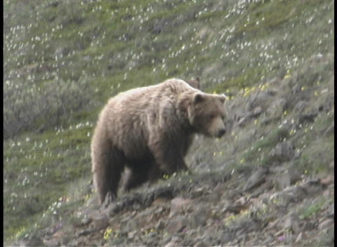 A mother Grizzly and her cub wander along a hillside Stock Video Footage