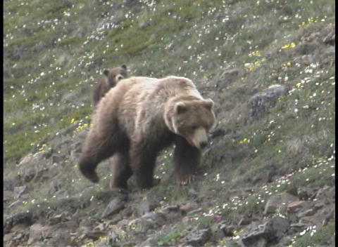 A mother Grizzly and her cub wander along a hillside Footage