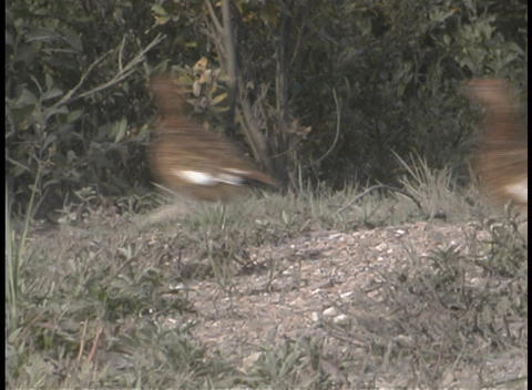 Pheasants in the underbrush Stock Video Footage