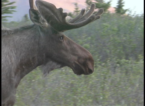 A large moose crosses the road in Alaska Stock Video Footage