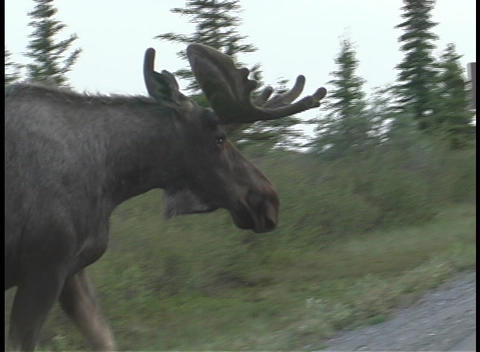 A large moose crosses the road in Alaska Footage