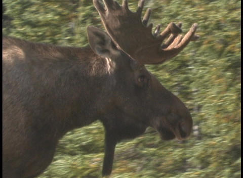 Profile of a moose walking Footage
