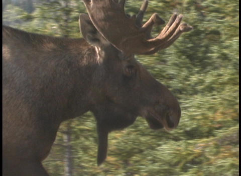 Profile of a moose walking Stock Video Footage