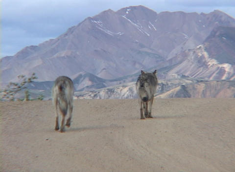 Two wolves walking down a dirt road Footage