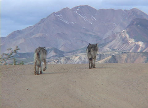 Two wolves walking down a dirt road Stock Video Footage