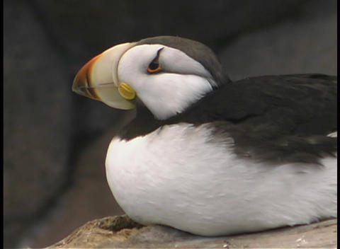 A puffin looks around Stock Video Footage
