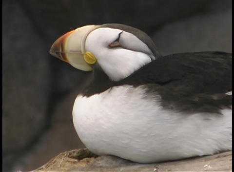 A puffin looks around Footage