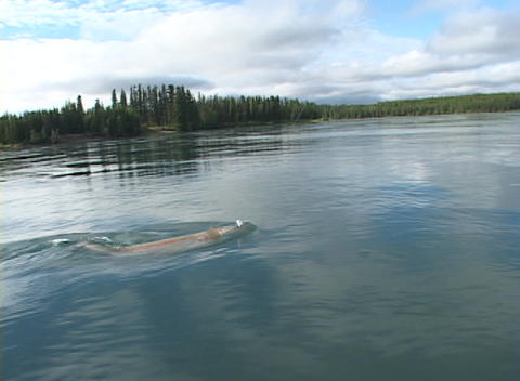 A salmon or trout is netted from a boat Footage