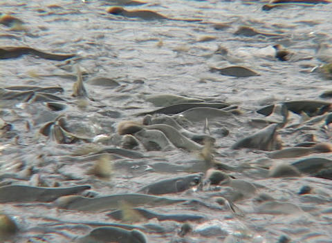 Millions of salmon swarm in a river in Alaska Footage